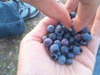 owoce, borówki